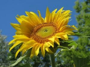 Sonnenblume_4